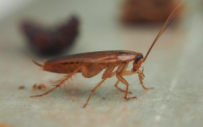 The Secret To Getting Cockroaches Out Of Your San Antonio Home